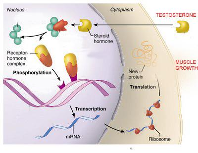 testosterone is more effective in increasing these steroid receptors