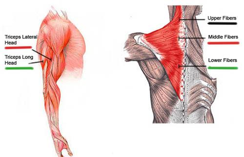 Triceps Muscle architecture
