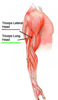 triceps muscle showing long head & short head