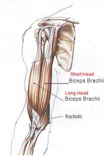 biceps brachii long head & short head